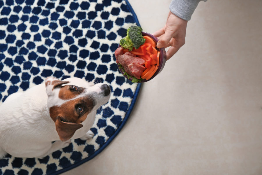 Vista de cima de cachorro sob um tapete azul e branco vendo a mão de seu dono levando comida natural até ele