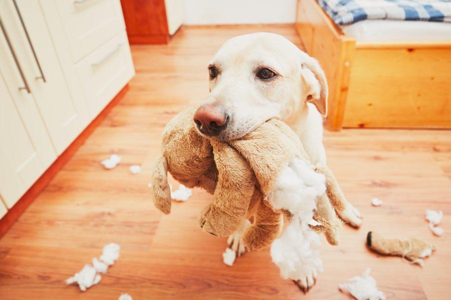 Comportamento canino representado por um cachorro com um bicho de pelúcia rasgado na boca e pedaços dele espalhados pelo quarto
