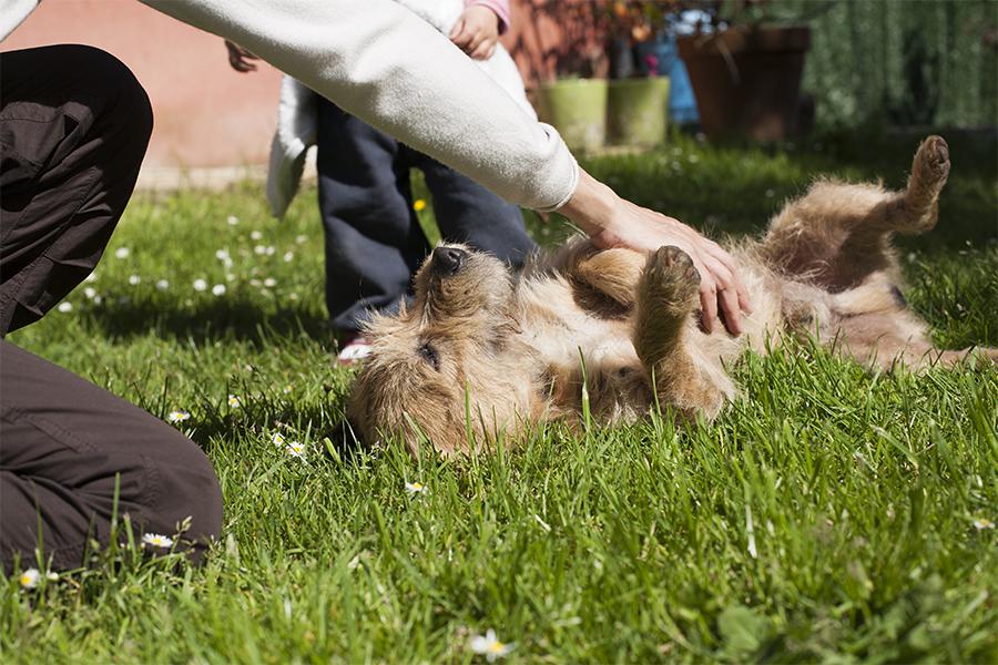 cachorro de barriga pra cima na grama sendo acariciado por uma pessoa