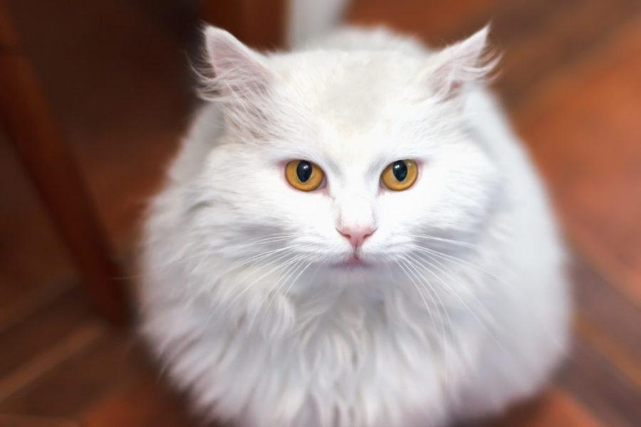 Close de um gato angorá visto de cima
